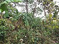 Ruined Nilkuthi at Manirampur in Hooghly 10.jpg