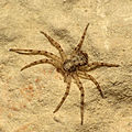 Running Crab Spider (16486204620).jpg