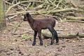 Saerbeck - Wildfreigehege Nöttler Berg - Cameroon sheep 03 ies.jpg
