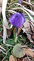 Saffron - Crocus vernus 52.jpg
