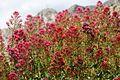 Sainte-Victoire Fleurs & Croix de Provence.jpg
