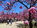Sakura of Hirosaki Park 20190505.jpg