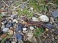 Salamander in Jutland.jpg