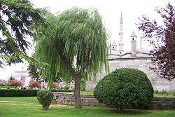 Salix babylonica.jpg