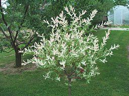 eglantine 1000-arbres.com