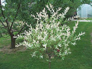 <i>Salix integra</i> Species of willow