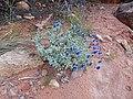 Salvia dorrii (02) - Flickr - andrey zharkikh.jpg