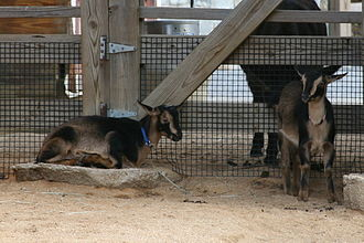 San Clemente Island goat - San Clemente goat kids at the National Zoo in Washington, D.C..