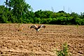 Sandhill Cranes mating ritual dance.jpg