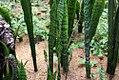 Sansevieria trifasciata 22zz.jpg