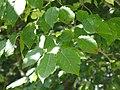 Sapium japonicum2.jpg