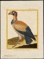 Sarcoramphus papa - 1700-1880 - Print - Iconographia Zoologica - Special Collections University of Amsterdam - UBA01 IZ18100111.tif