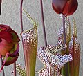 Sarracenia in Bloom (25883535934).jpg