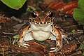 Savage's thin-toed frog (Leptodactylus savagei) 2.jpg