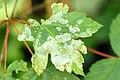 Sawadaea.bicornis.-.lindsey.jpg