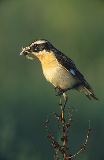 The whinchat has a prominent white supercilium.