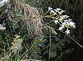 Saxifraga callosa 2.jpg