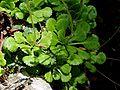 Saxifraga cuneifolia2.jpg