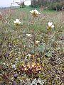 Saxifraga granulata sl22.jpg