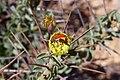 Scelophysa militaris (Scarabaeidae- Melolonthinae-Rutelinae- Hopliini) on Monsonia spinosa (Geraniaceae) (36727989494).jpg