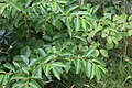 Schiermonnikoog - Amerikaanse vogelkers (Prunus serotina).jpg