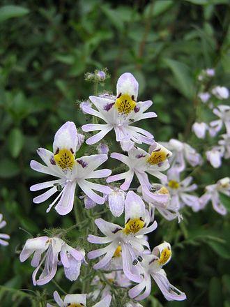 Schizanthus - Image: Schizanthus pinnatus