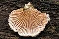 Schizophyllum.commune2.-.lindsey.jpg