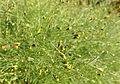 Schkuhria pinnata - Bergianska trädgården - Stockholm, Sweden - DSC00164.JPG