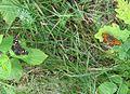 Schmetterlinge(2).jpg