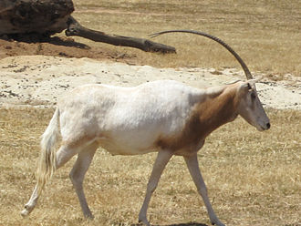 Scimitar oryx - Scimitar oryx in the Werribee Open Range Zoo, Victoria, Australia
