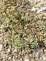 Scleranthus perennis sl4.jpg
