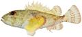 Scorpaena inermis - pone.0010676.g043.png