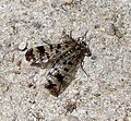 Scorpion fly - Flickr - gailhampshire.jpg