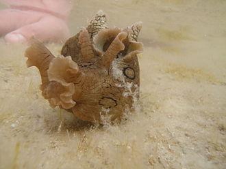 Anaspidea - Image: Sea hare, Aplysia dactylomela, 12 04 2009 2 00pm