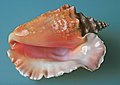 Sea shell (Trinidad & Tobago 2009).jpg