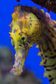 Seahorse ultra close-up (4965752664).jpg