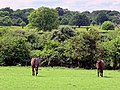 Seal brown horses in Hatfield Broad Oak Essex England.jpg