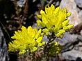 Sedum rupestre subsp. reflexum (14970656328).jpg
