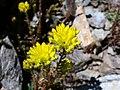 Sedum rupestre subsp. reflexum (15134209186).jpg