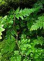 Selaginella uncinata kz3.jpg