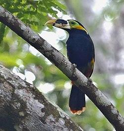 Selenidera gouldii - Gould's toucanet (male).jpg
