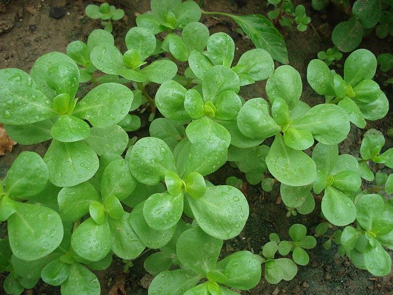 Yeşil yaprakları ve körpe dalları sebze olarak yenir