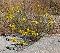 Senecio flaccidus var monoensis 5.jpg