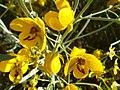 Senna-artemisioides-20080403.JPG