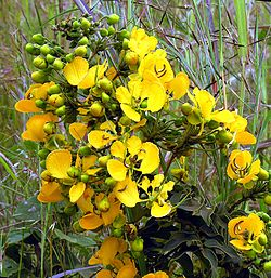 Senna septemtrionalis, the Arsenic Bush. (9335128309).jpg