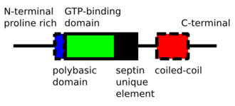 Septin - schematic domain structure of septin polypeptide chain