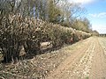 Severe hedge cutting - geograph.org.uk - 1740101.jpg