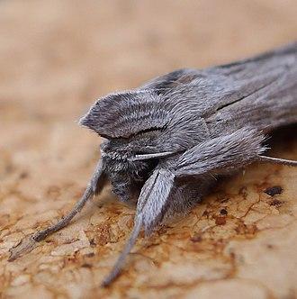 Shark (moth) - Image: Shark. Curcullia umbratica. Head detail Flickr gailhampshire