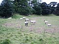 Sheep - geograph.org.uk - 558103.jpg