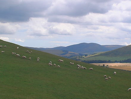 Sheep grazing on slopes of Camp Hill, Bowmont Valley